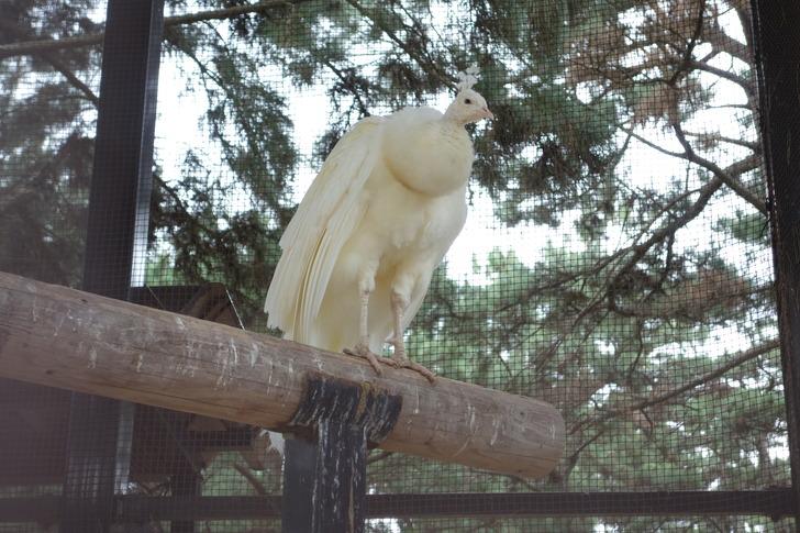 海の中道海浜公園 動物の森  シロクジャク