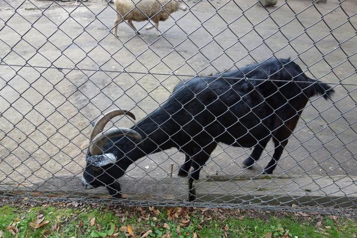 大山トムソーヤ牧場 山羊