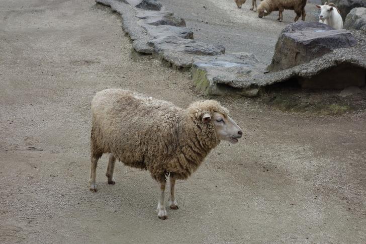 大山トムソーヤ牧場 羊