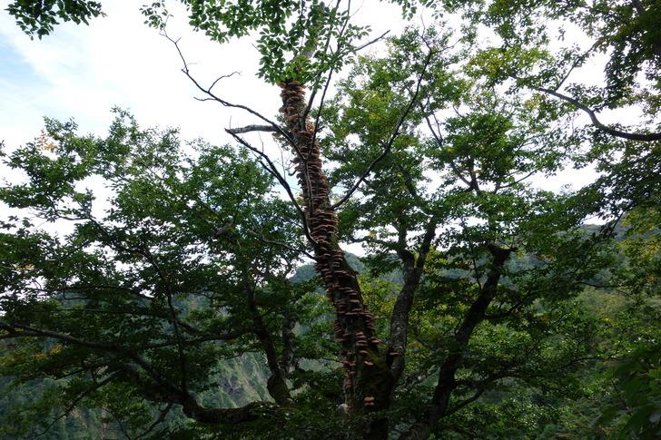 雨飾山 ツキヨタケ