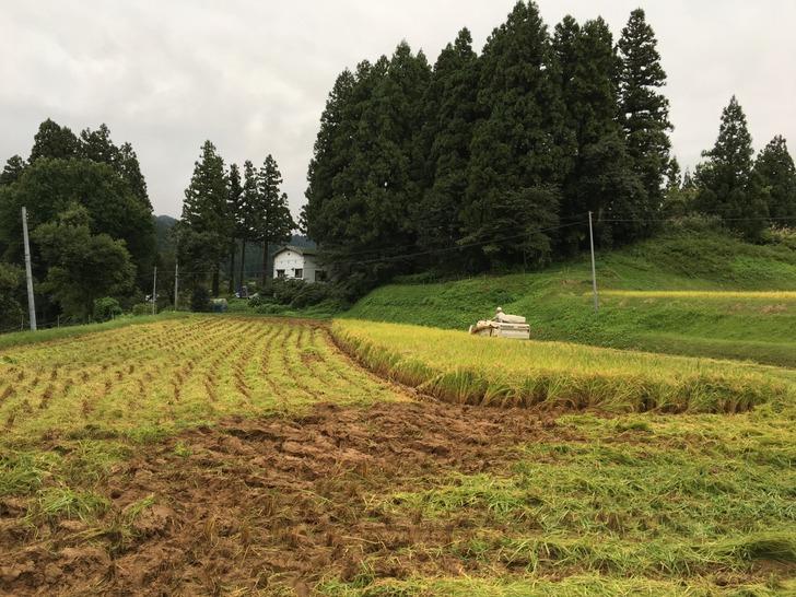 新潟 田んぼ 稲刈り コンバイン