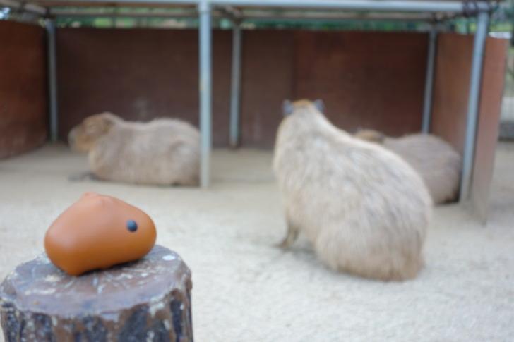 海の中道海浜公園 動物の森 カピバラ カピバラさん