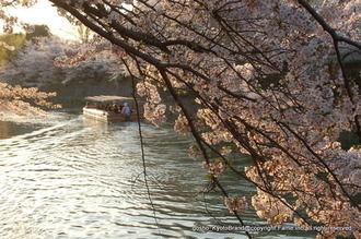 岡崎桜回廊4