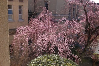 紅一重枝垂桜