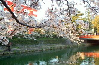 岡崎桜回廊2