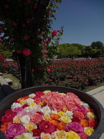 170518大鉢のバラ