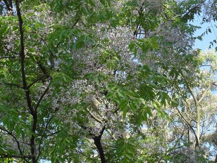 170518センダンの大木