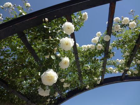 170518アーチのバラ