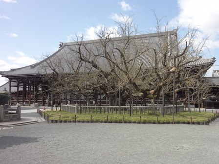 180323西本願寺のイチョウ