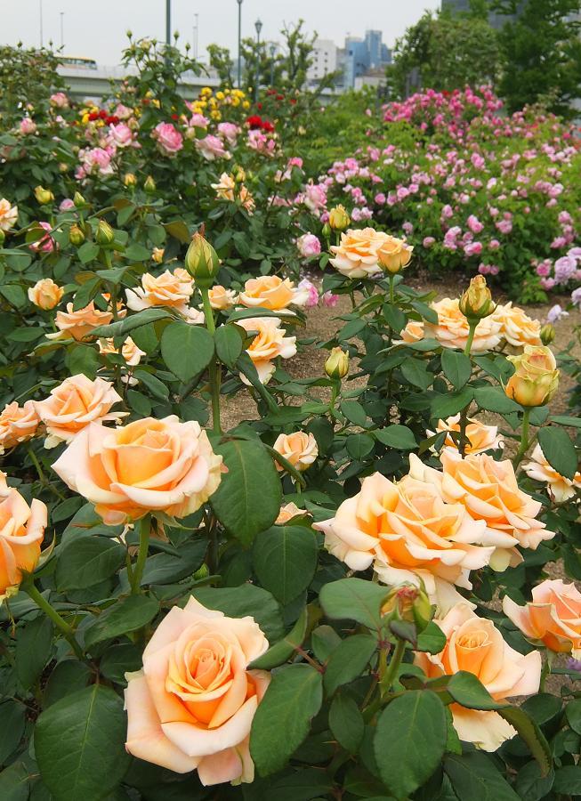 rose4_20140527223422a09.jpg
