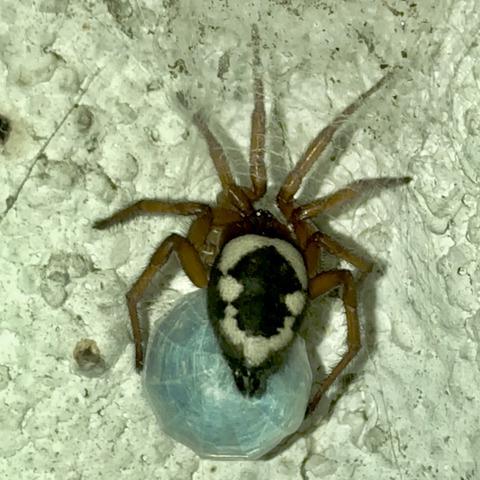 お尻にスマイルマークがある蜘蛛が楽しげにボール遊び!?
