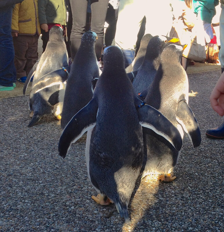 名古屋港水族館ペンギンよちよちウォーク 2013年12月 No - 30