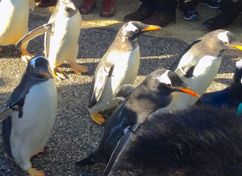 名古屋港水族館ペンギンよちよちウォーク 2013年12月 No - 26