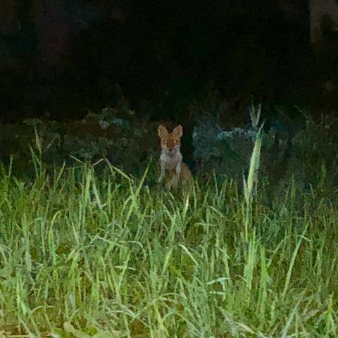 小牧市東部で撮影されたキツネの写真 - 2