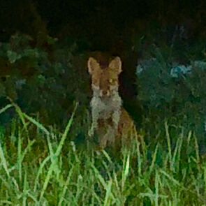 小牧市東部で撮影されたキツネの写真 - 3