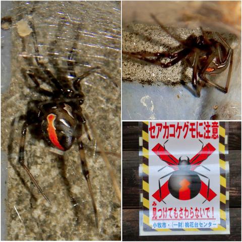 桃花台中央公園周辺でセアカゴケグモに注意!(追記あり)