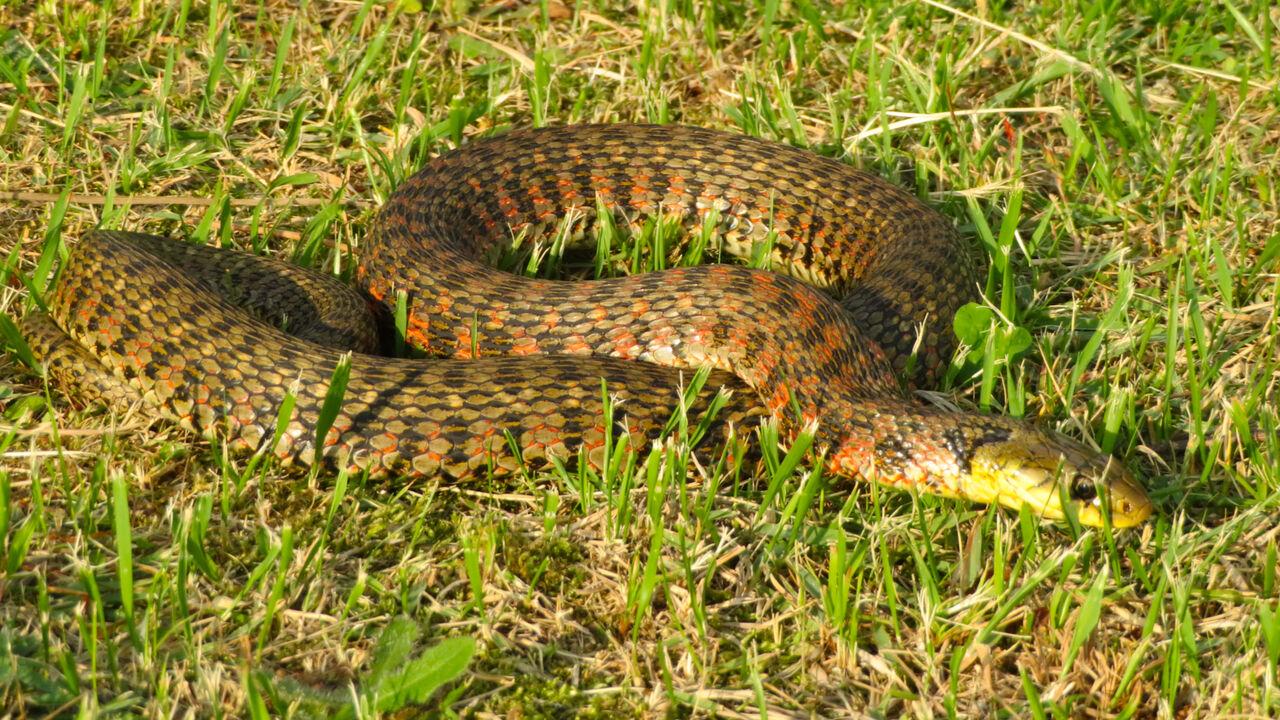 落合公園にいた毒蛇「ヤマカガシ」 - 5