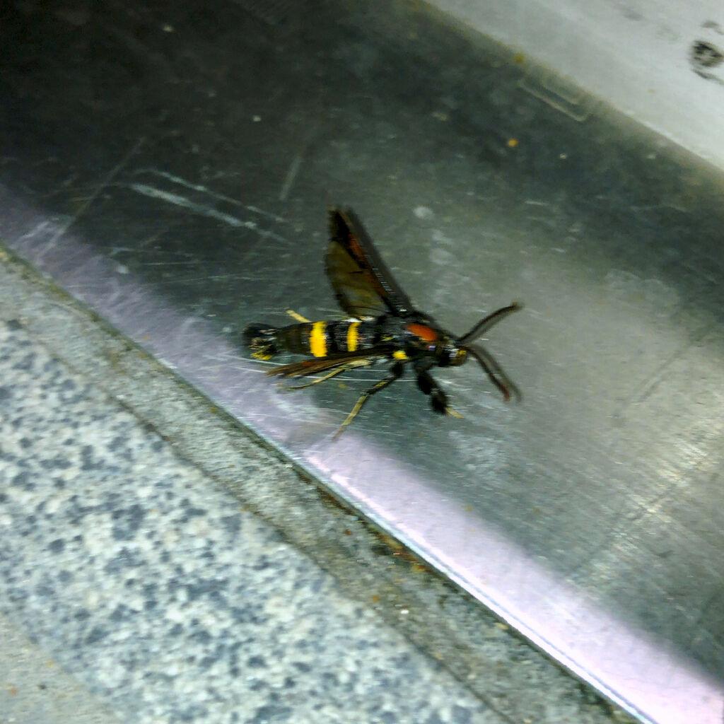 蜂にそっくりのコスカシバ族の蛾 - 1