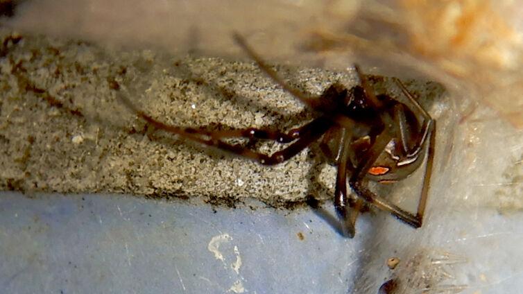 桃花台中央公園のトイレの外壁にいた、たぶんセアカゴケグモ - 38