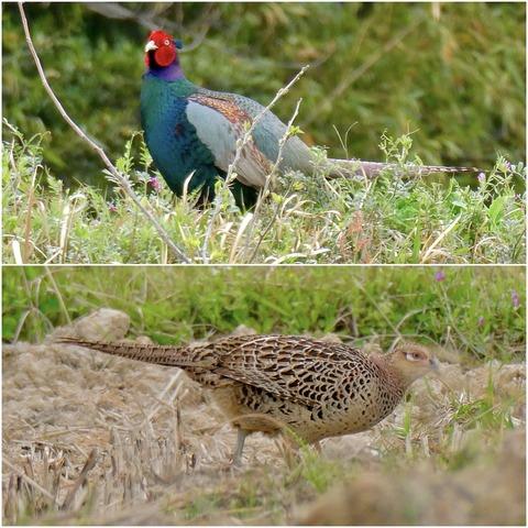 太良池近くにいたキジとこの地域の野鳥観察スポット(追記あり)