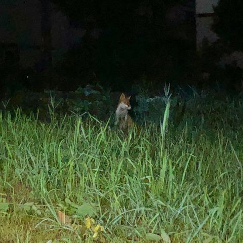 小牧市東部で撮影されたキツネの写真 - 1