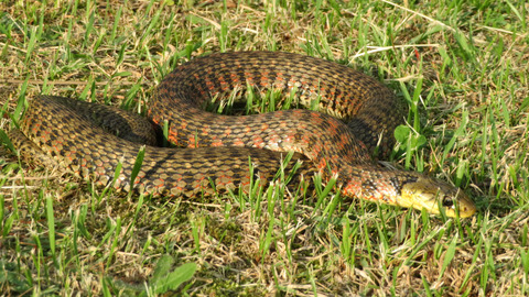 落合公園で毒蛇「ヤマカガシ」に注意!(追記あり)