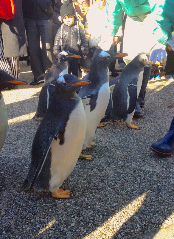 名古屋港水族館ペンギンよちよちウォーク 2013年12月 No - 27