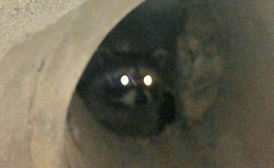 側溝に隠れていたアライグマ - 2