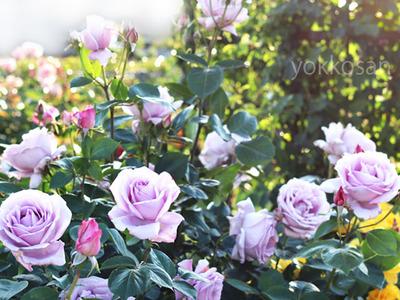 5月の薔薇R3 (1)