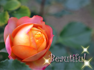 yokkosanのお気に入りの薔薇