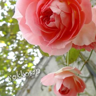 yokkosanの薔薇031