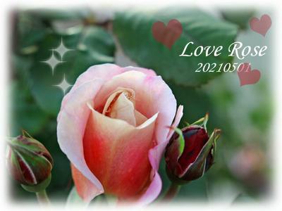薔薇の蕾が膨らんだ