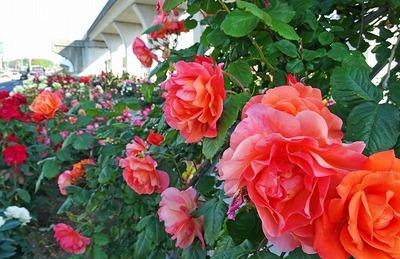 PostCard-yokoバイパス下の薔薇