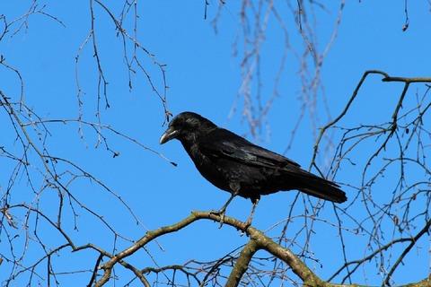 crow-284491_960_720
