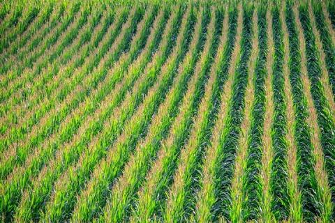 cornfield-902877_960_720