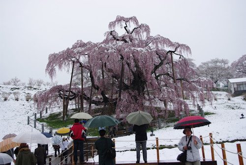 三春滝桜雪