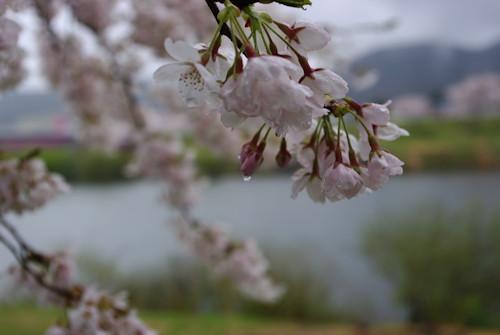 一目千本桜雨2