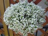 我が家の花たち(白)