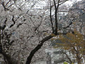 桜 丸子路