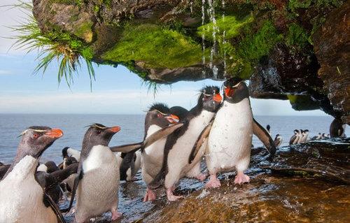 イワトビペンギン01