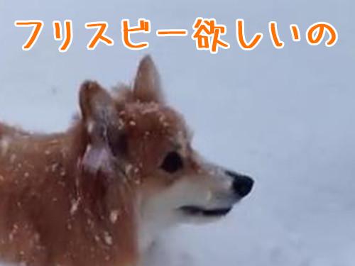 コーギーの雪遊び00