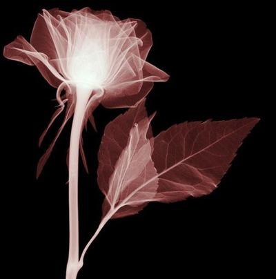 花のレントゲン16