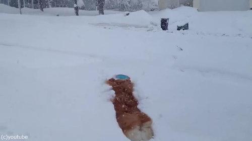 コーギーの雪遊び02
