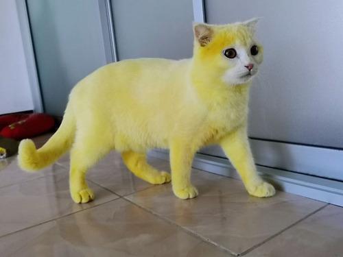 治療のウコンでピカチュウ化した猫07