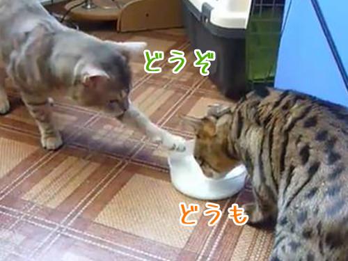 ミルクを分け合う猫00
