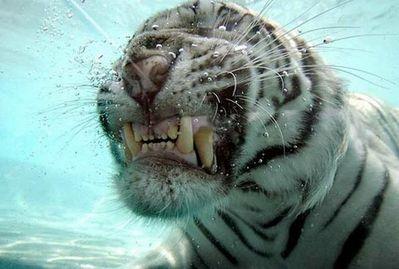 泳ぐ虎05