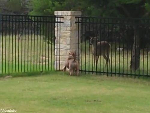 柵越しの犬と鹿01