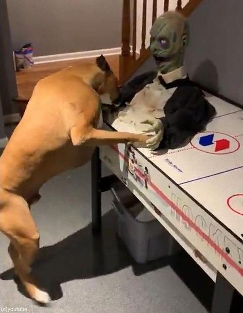 ボクサー犬がソンビをボコボコにする01
