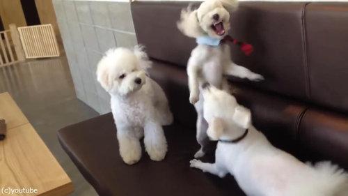 ケンカを始めた犬2匹と仲裁する1匹04