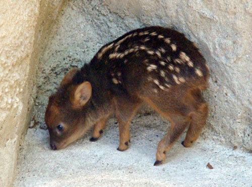 世界最小の鹿プーズー06